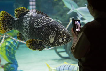 Grouper fish (Epinephelus lanceolatus) in an aquarium. A woman takes pictures of fish on the phone.