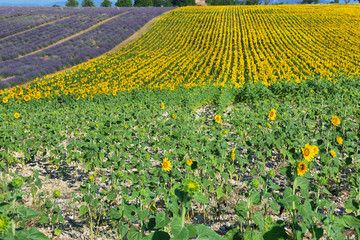 Sunflowers field and lavender field near Valensole, Provence, France