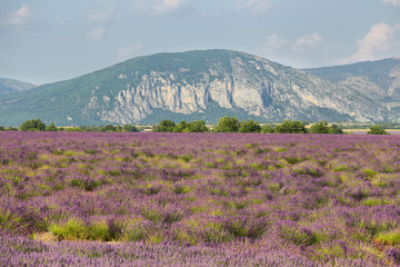 Lavender field in Saint Jurs, Provence, France