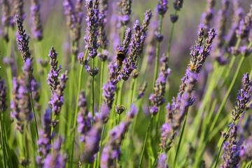 Close up of lavender plant near Saint Jurs, Provence, France