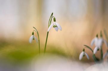 Foto auf Leinwand Blumenhändler Galanthus - Snowdrops - Sneeuwklokjes