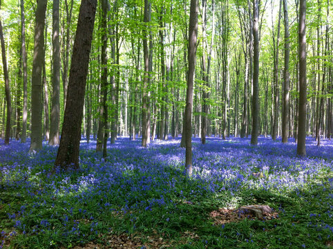 The Blue Forest. The forest with beautiful purple carpet of bluebells, which bloom in spring season. Hallerbos, Belgium