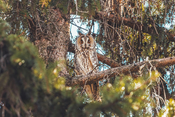 beautiful owl sits among fir branches