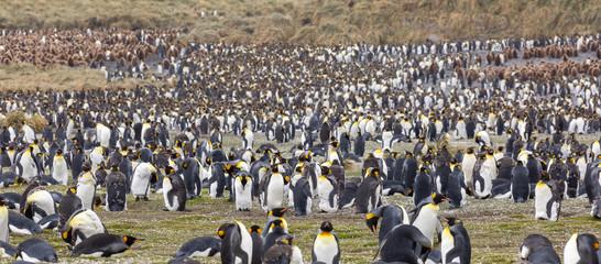 Fotorolgordijn Pinguin King penguin colony South Georgia