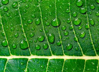 Green leaf of tropical tree frangipani (plumeria) in drops of morning dew closeup