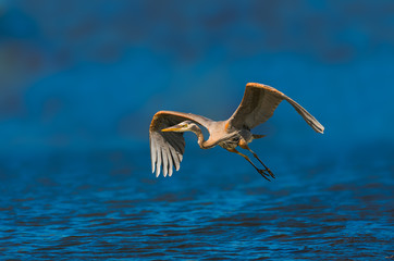 Great blue heron flying over blue lake