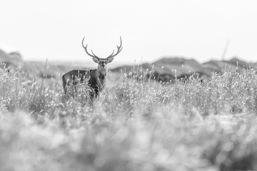 Poster Deer black and white portrait of a sika deer