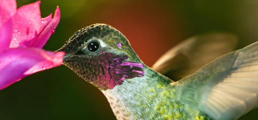A head shot of a beautiful male hummingbird