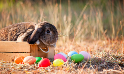 Cute Holland lop rabbit in the basket and easter eggs in the meadow at easter festive