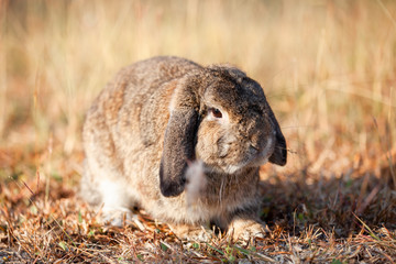 Cute Holland lop rabbit running in the meadow with the sunlight