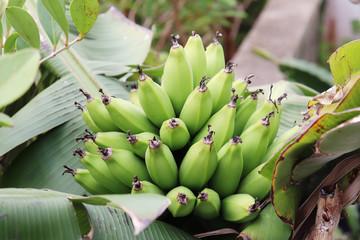 無農薬栽培、有機栽培の天然島バナナの写真素材