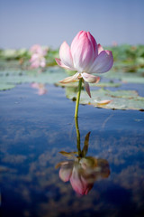 Garden Poster Lotus flower Blooming lotus in the Volga river Delta. . Summer