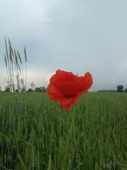 Obraz czerwony mak na polu żyta - fototapety do salonu
