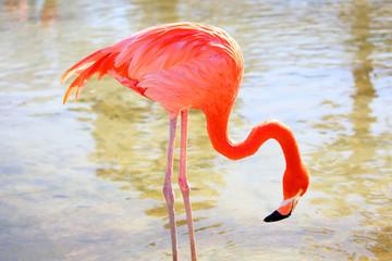 Foto op Canvas Flamingo 餌を探すベニイロフラミンゴ