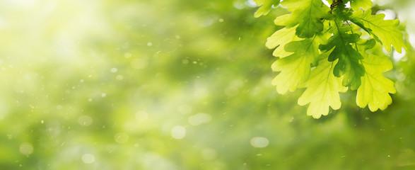 Obraz Green oak leaves background. Plant and botany nature texture, banner - fototapety do salonu