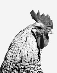 Black and white farmy yard Chicken on a white background. Minimalist farm animal