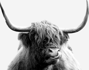 Foto op Canvas Koe Black and white Highland cow on a white background. Minimalist cow licking its nose