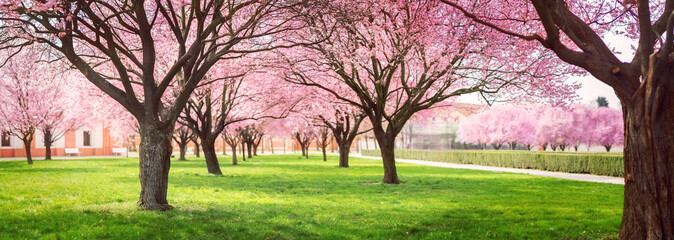 Door stickers Light pink Panorama of Cherry blossom trees Alley in garden on a fresh green lawn at sunset