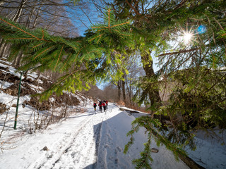 hikers walk towards the snowy mountain and fir branches in the foreground