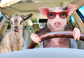Zelfklevend Fotobehang Schapen Pig in sunglasses carries in a car a goat showing tongue