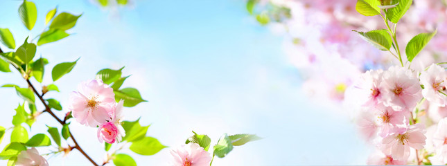 Fotorollo Blumen Natural spring floral colorful background banner format. Beautiful branch blossoming cherry soft focus, blue sky, white clouds, sunny day, macro. Gentle pink flower sakura in nature, copy space.