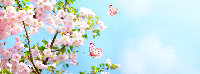 Tuinposter Bloemen Branches blossoming cherry on background blue sky, fluttering butterflies in spring on nature outdoors. Pink sakura flowers, amazing colorful dreamy romantic artistic image spring nature, copy space.