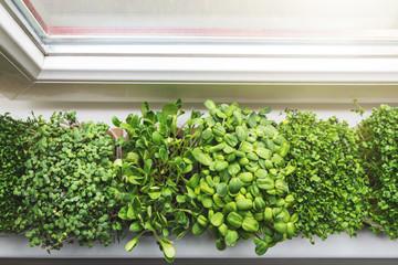 kitchen garden - fresh raw microgreens growing on windowsill at home