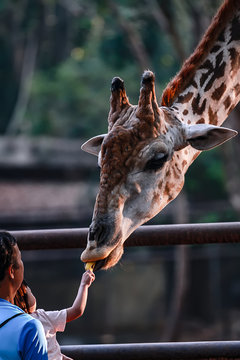 Photos of giraffes in the zoo