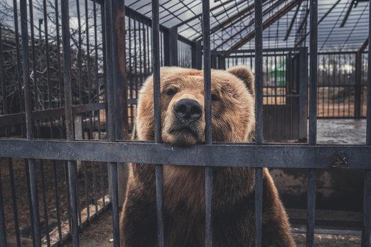 Brown bear behind bars in zoo cage. Big upset brown bear in capture of zoo cage looking at camera through metal bars in gloomy day