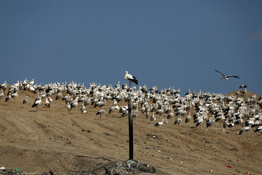 White storks are seen in Jordan Valley in the Israeli-occupied West Bank