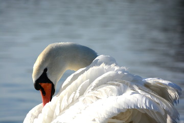 Foto op Aluminium Zwaan A beautiful and majestic swan grooming its feathers and swimming on the calm waters of the Knap Lake in Barry South Wales. The red bill standards out against the fluffy white feathers.