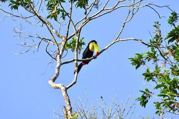 Foto op Plexiglas Toekan toucan bird on a branch, in Arenal Volcano area costa rica central america