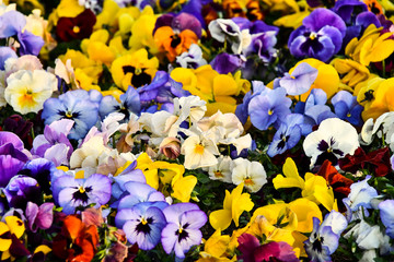 Poster Pansies flowers on a background, photo as a background