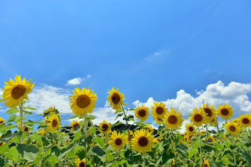 Photo sur Plexiglas Tournesol 夏の青空とひまわり