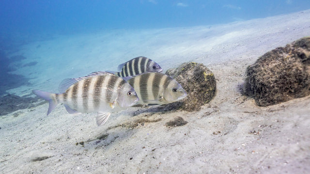 Three Sheepshead fish (Archosargus probatocephalus) search for food in a central Florida spring. Sheepshead are known for their mouths full of human-like teeth.