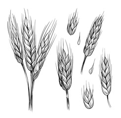 Set of wheat ears. Hand drawn illustration converted to vector. Black outline on transparent background