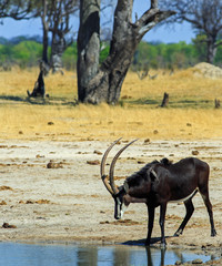 Male Sable Antelope taking a drink from a small pool of water.  The surrounding savannah grassland is yellow due to the rains failing to appear.  Hwange National Park, Zimbabwe