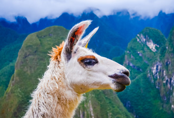 Acrylic Prints Lama White lama head profile closeup in Peru