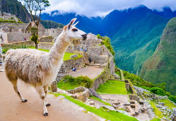 Poster Lama White lama on Machu Picchu inca ruins in Peru