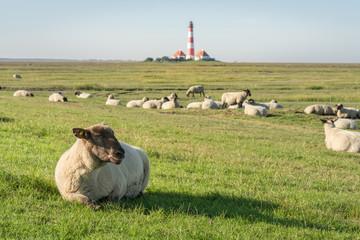 Schafherde vor dem Leuchtturm Westerhever in Nordfriesland