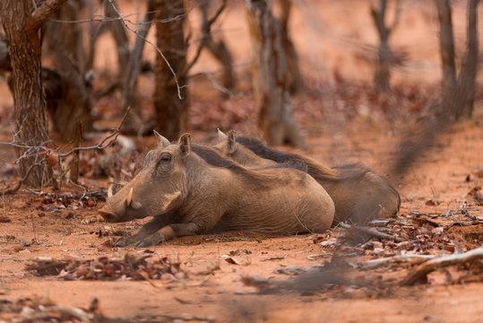 Warthog, wild pig in the wilderness of Afica