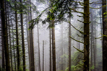 Keuken foto achterwand Bos in mist Mystic fog in a forest with old trees