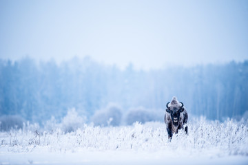 Isolated European bison on a very cold winter day