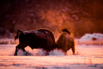Fototapeten Bison Two European bison fighting on a cold winter morning in beautiful backlight