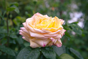 Wall Mural - Yellow rose over blurred garden background