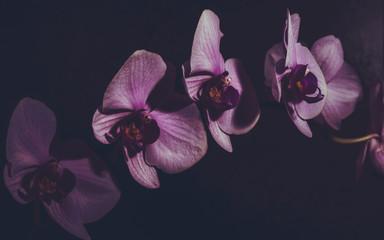 Canvas Prints Orchid Orchidee Orchideenblüten Zweig dunkel moody