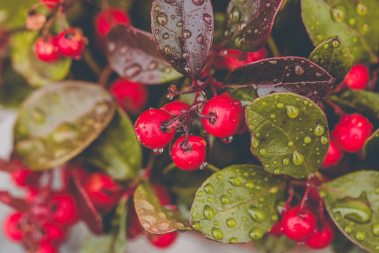Fresh wintergreen red berry plant with raindrops. Close up, selective focus