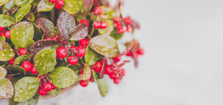 Fresh wintergreen red berry plant with raindrops on white background. Toned picture, close up. Copy space for text.