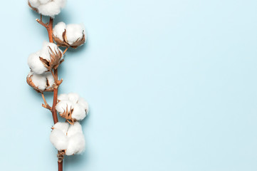 Flat lay Beautiful cotton branch on blue background top view copy space. Delicate white cotton...
