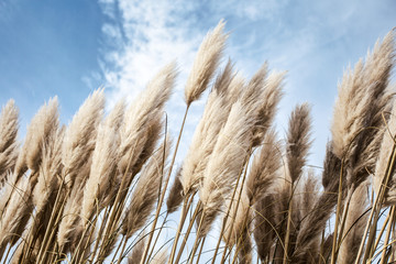 Pampas grass in the sky, Abstract natural background of soft plants Cortaderia selloana moving in...